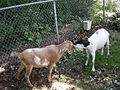 Seattle Tilth Harvest Fair - butting goats.jpg