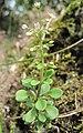 Sedum cepaea inflorescence (05).jpg