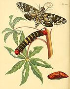 Sepp-Surinaamsche vlinders - pl 101 plate Manduca rustica.jpg