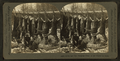 Seven and one hanging. Team in the woods for more, from Robert N. Dennis collection of stereoscopic views.png