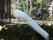 Pavo Real (albino) en el Parque de María Luisa.