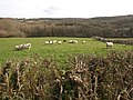 Sheep near Hurley's Farm - geograph.org.uk - 1196346.jpg