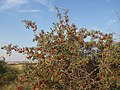 Shepherdia argentea — Matt Lavin 004.jpg