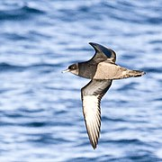 Short-tailed Shearwater is a long-distance migrant occasionally recorded in Thailand
