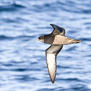 Griffiths Island - The island is home to a large colony of short-tailed shearwaters