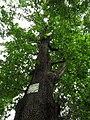 Shurun Quercus3.JPG