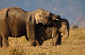 Jim Corbett National Park - Siblings Love at Dhikala Grassland, Jim Corbett National Park