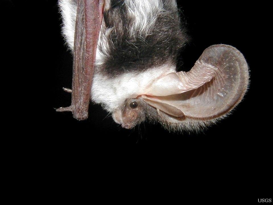 Side view of spotted bat -Euderma maculatum- by Paul Cryan