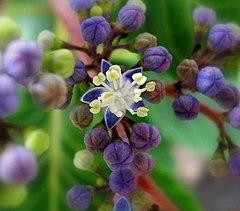 Hydrangea sp, fertile individual flower.