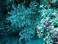 Siphonogorgia sp Maldives.JPG