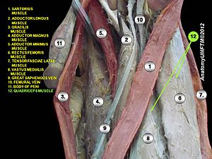 Quadriceps femoris muscle - Image: Slide 1dddd