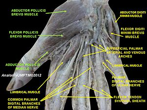 Adductor pollicis muscle - Image: Slide 8AAAA