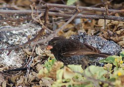 Small ground finch (4228315385).jpg
