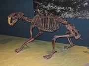 Smilodon californicus, fossilt skelett