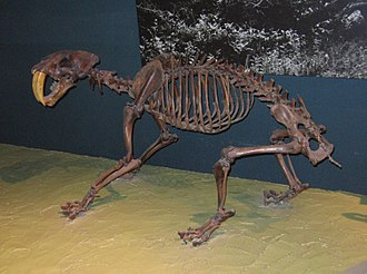 Machairodontinae - Mounted fossil skeleton of a Smilodon fatalis, National Museum of Natural History