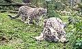 Sneaking Up On A Sleeping Snow Leopard (12525626135).jpg