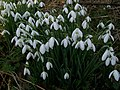 Snowdrop (Galanthus nivalis) (5433645272).jpg