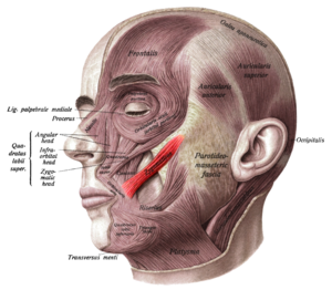 Zygomaticus major muscle - Muscles of the head, face, and neck. Zygomaticus major shown in red.