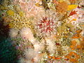 Soft corals at Tafelberg Reef DSC02865.JPG