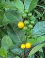Solanum diphyllum3.jpg