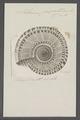Solarium perspectivum - - Print - Iconographia Zoologica - Special Collections University of Amsterdam - UBAINV0274 082 19 0002.tif