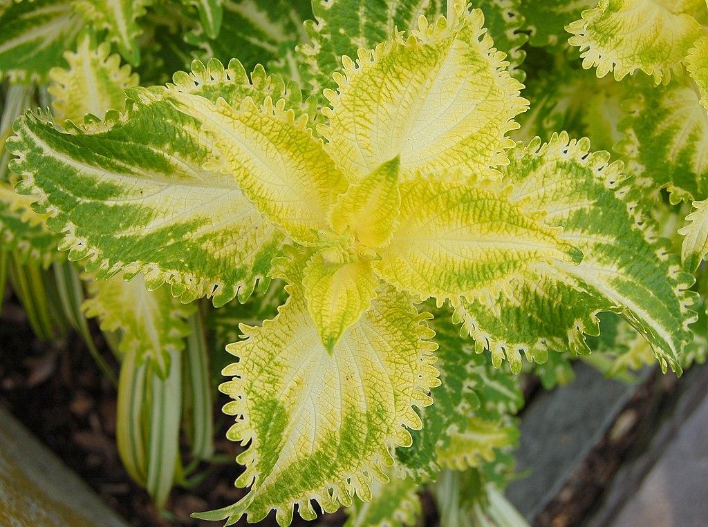Solenostemon Monostachyus Leaf Extract