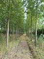 Sorba telepített fák, Rákoshegy, 2016.jpg