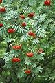 Sorbus aucuparia PID1474-1.jpg