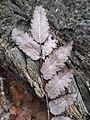 Sorbus aucuparia sl7.jpg