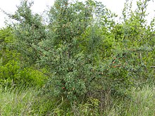 Sourplum (Ximenia caffra) (11712397386).jpg