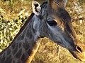 South African Giraffe 19.jpg
