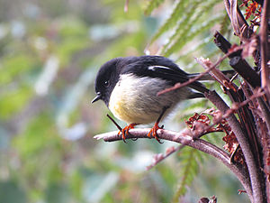 Tomtit - South Island tomtit subspecies in Franz Josef, New Zealand