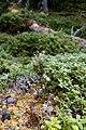 Spåmansloken blåbärsblad.jpg