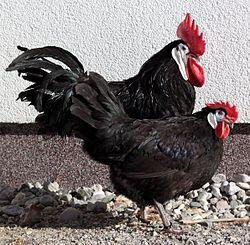 List of chicken colours - Wikipedia