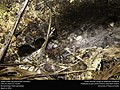 Spider under log (Arachnida, Araneae) (25618894751).jpg