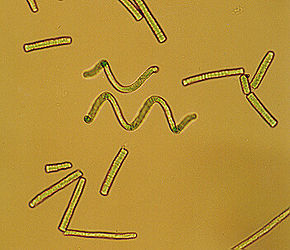 Arthrospira sp.