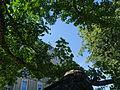 Spomenik prirode Ginko na Vračaru 08.JPG