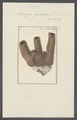 Spongia fistularis - - Print - Iconographia Zoologica - Special Collections University of Amsterdam - UBAINV0274 112 04 0004.tif