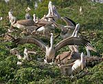 Spot-billed Pelican (Pelecanus philippensis) at nest W IMG 7279.jpg