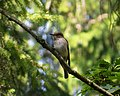 Spotted Flycatcher. Muscicapa striata (27904148739).jpg