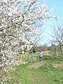 Spring in Onslow Arboretum - geograph.org.uk - 1215764.jpg