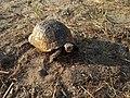 Spur-thighed tortoise in Mardakan, Azerbaijan 6.jpg