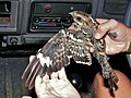 Square-tailed Nightjar (Caprimulgus fossii) (6045935974).jpg