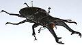 Stag Beetle (Prosopocoilus giraffa giraffa) (8556963425).jpg