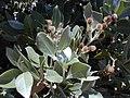 Starr-010330-0597-Conocarpus erectus-leaves and flowers-Kahului-Maui (24532109025).jpg