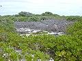 Starr-010520-0085-Cassytha filiformis-habit-Inland-Kure Atoll (24506598806).jpg