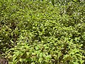 Starr-030729-0078-Clidemia hirta-habit-Hanawi stream-Maui (24555694621).jpg