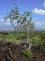 Starr-040513-0012-Nicotiana glauca-habit-Puu o Kali-Maui (24406690240).jpg