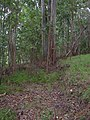 Starr-041214-1506-Eucalyptus sp-trail building-Makawao Forest Reserve-Maui (24627755191).jpg