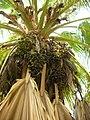 Starr-050407-6264-Pritchardia sp-habit-Maui Nui Botanical Garden-Maui (24118164543).jpg